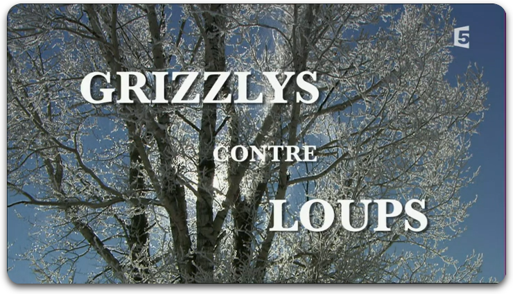 Grizzlys Contre Loups