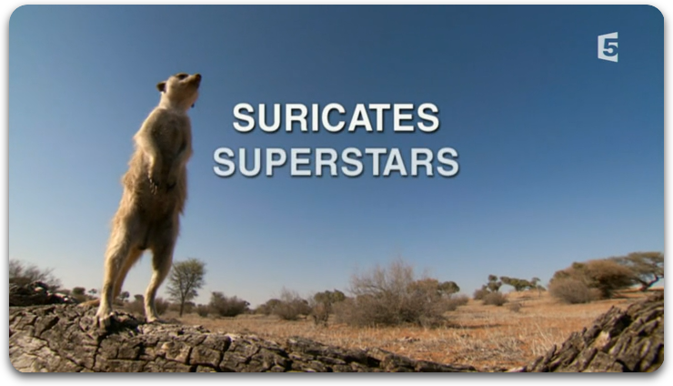Suricates Superstars